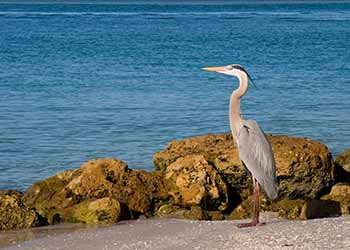 Exotic bird in front of the water at Captiva