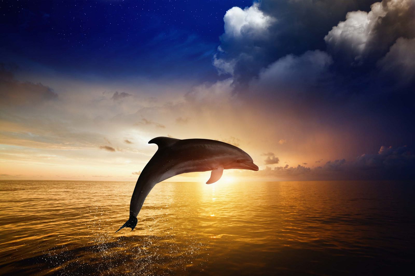 Dolphin jumping in air at sunset