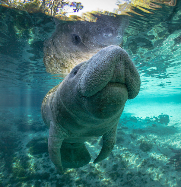 manatee in the river