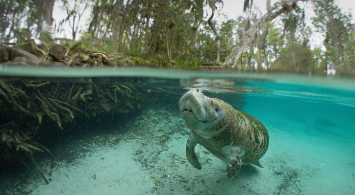 manatee swimming through crystal clear water with snout at the top of the water and mangroves all around