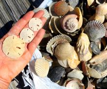 Sanibel Shelling teaser